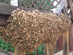Beekeepers busy with hundreds of swarms