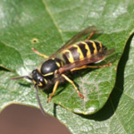 western_yellowjacket